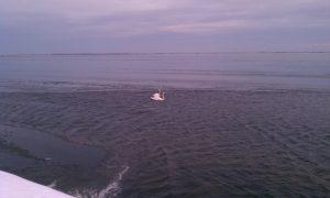 2011_01_15_swans