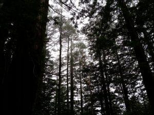 2015_01_08_redwoods