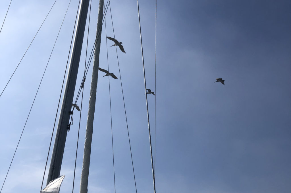 Pelicans Flying Over the Mast