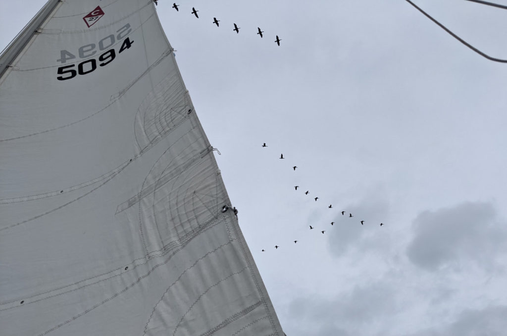 Cormorants Flying over the Mainsail